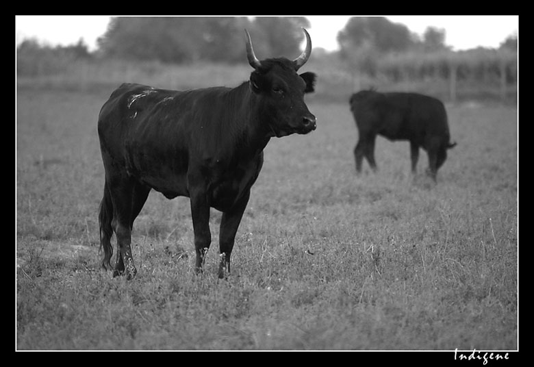 Le taureau de Camargue