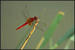 photo La libellule rouge