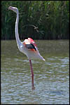 photo Flamant rose en Camargue