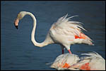 photo Le flamant rose en Camargue