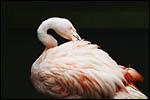 photo Flamant la tête dans ses plumes