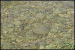 photo Les alevins dans la rivière d'Ain