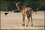 photo L'antilope