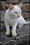 photo Chaton blanc