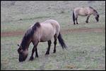 photo Les chevaux de Solutré