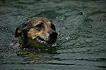 photo Le chien à la nage
