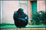 photo Le chimpanzé