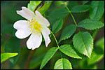 photo Fleur de ronce