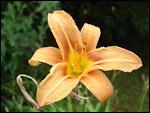 photo Gouttes de pluie sur une fleur d'hemerocallis