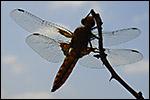 photo La grosse libellule