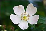photo Ronce en fleurs