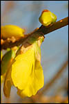 photo Le forsythia