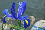 photo L'iris bleu