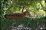 photo Tigre sur un mur