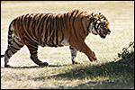 photo Le tigre du Bengale
