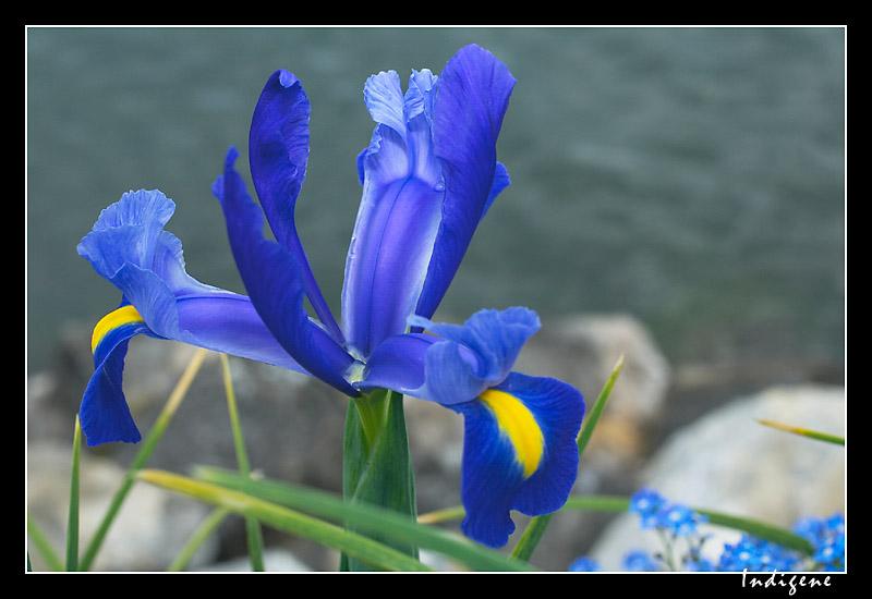L'iris bleu