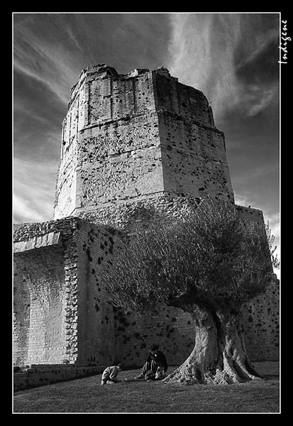 La Tour Magne et l'olivier