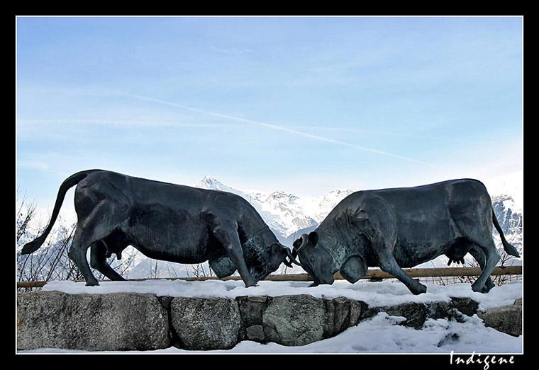 Les vaches de combat