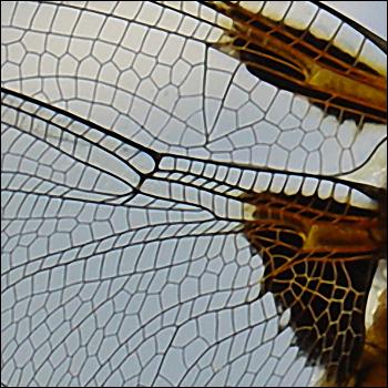 Zoom sur l'aile de libellule
