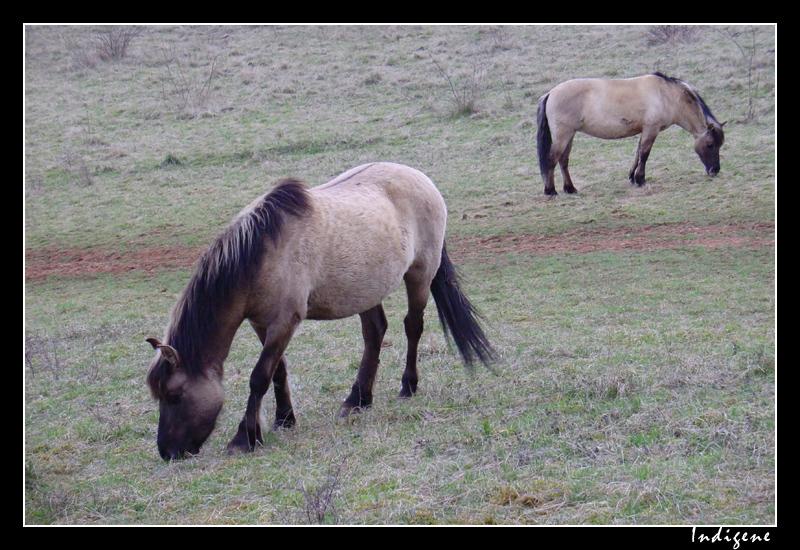 Les chevaux de Solutré
