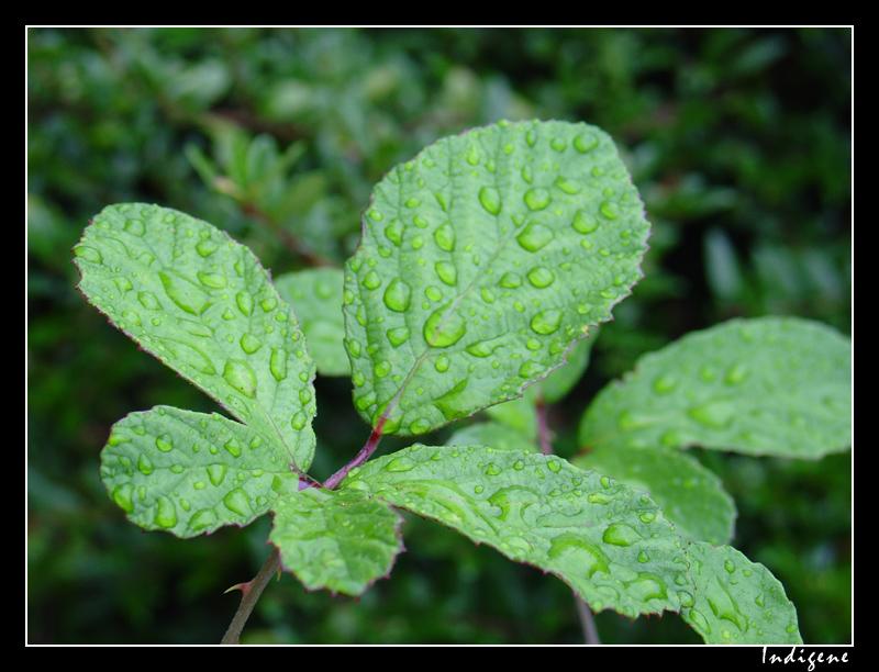 Feuille de ronce couverte de pluie