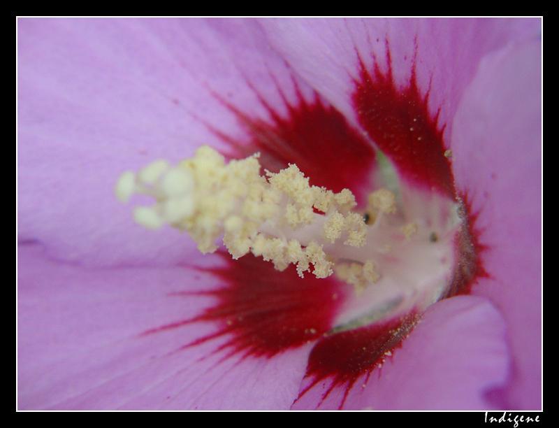 Fleur d'althéa