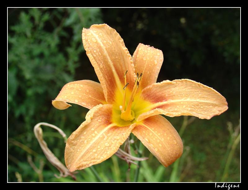 Gouttes de pluie sur une fleur d'hemerocallis