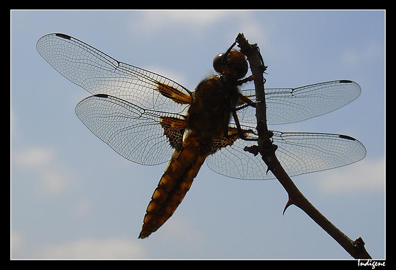 La grosse libellule
