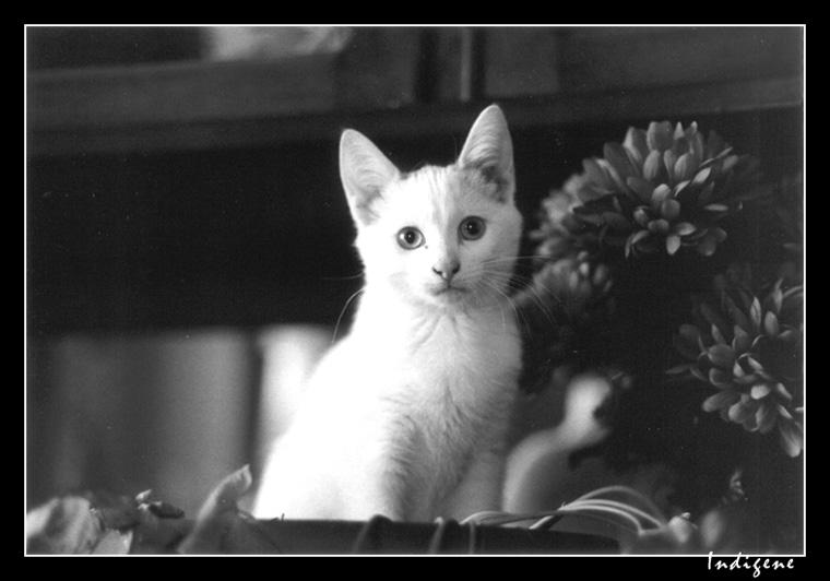 Kiss le petit chaton blanc