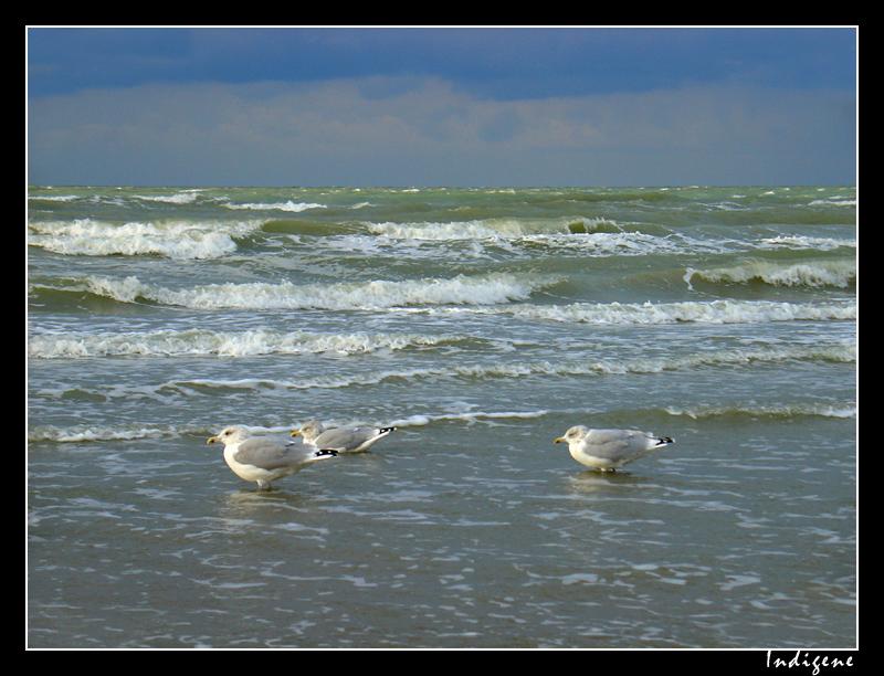 Les goélands de la Mer du Nord
