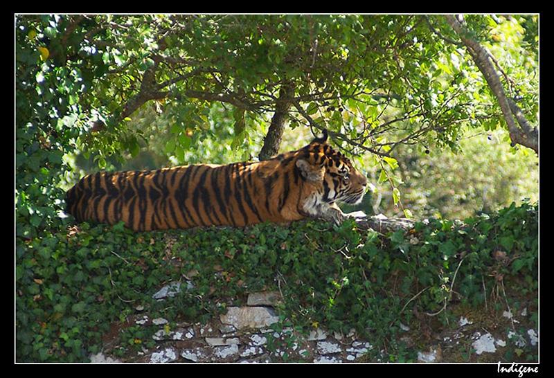 Tigre sur un mur