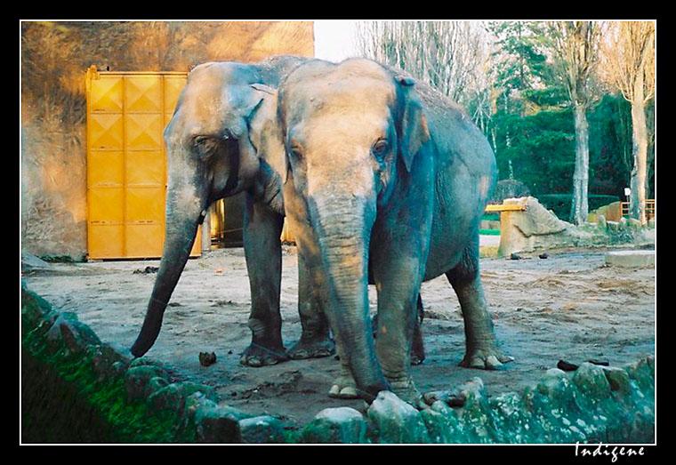 Les vieux éléphants